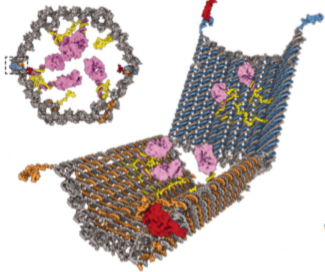 Oben: Querschnitt durch die Tonnenform des DNA-Nanoroboters. Unten: Der Nanoroboter im geöffneten Zustand. (aus: Shawn M. Douglas et al., Science 2012)